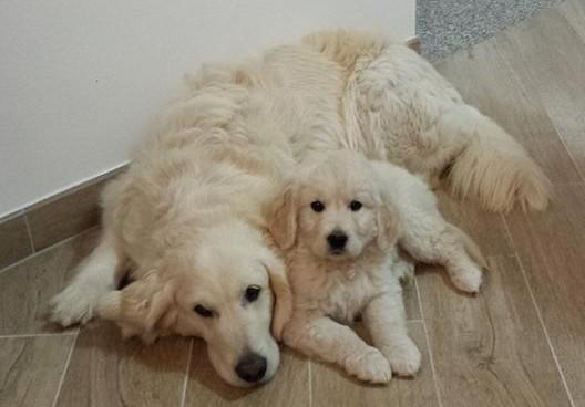 Come-prendersi-cura-di-un-cucciolo-di-Golden-Retriever