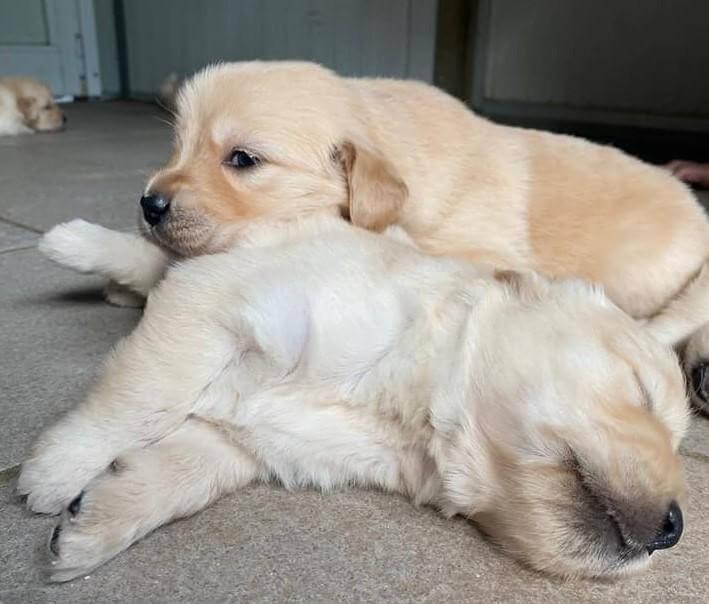 Il-Golden-Retriever-è-il-cane-giusto-per-me