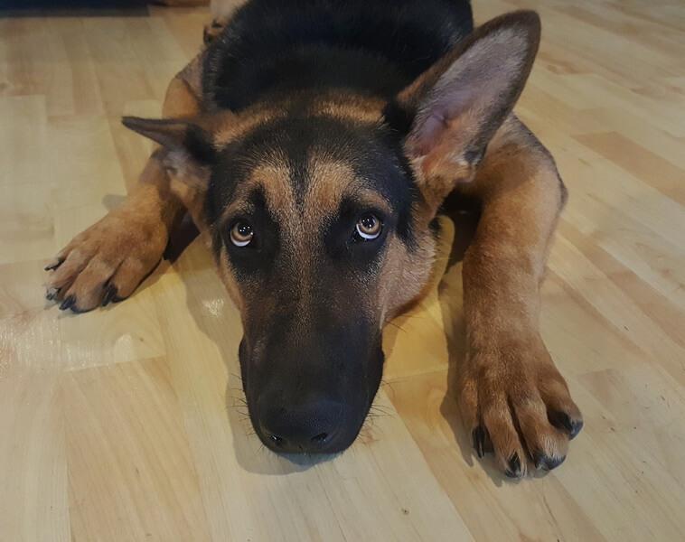 Il-cane-ha-problemi-di-udito