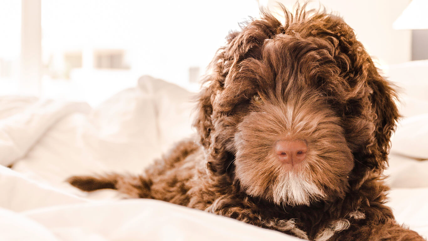 Portuguese-water-dog
