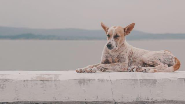 Sarcoptes-scabiei-var.-canis