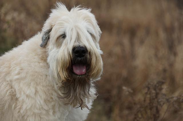Wheaton-Terrier