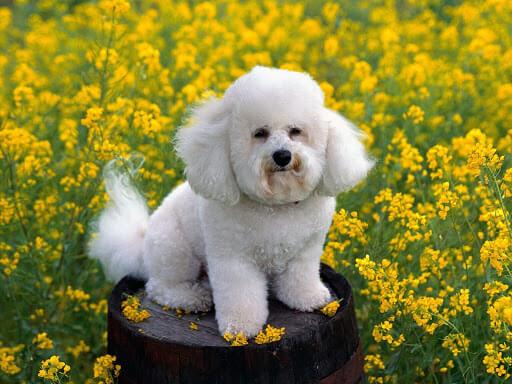 cane piccola taglia non perde pelo