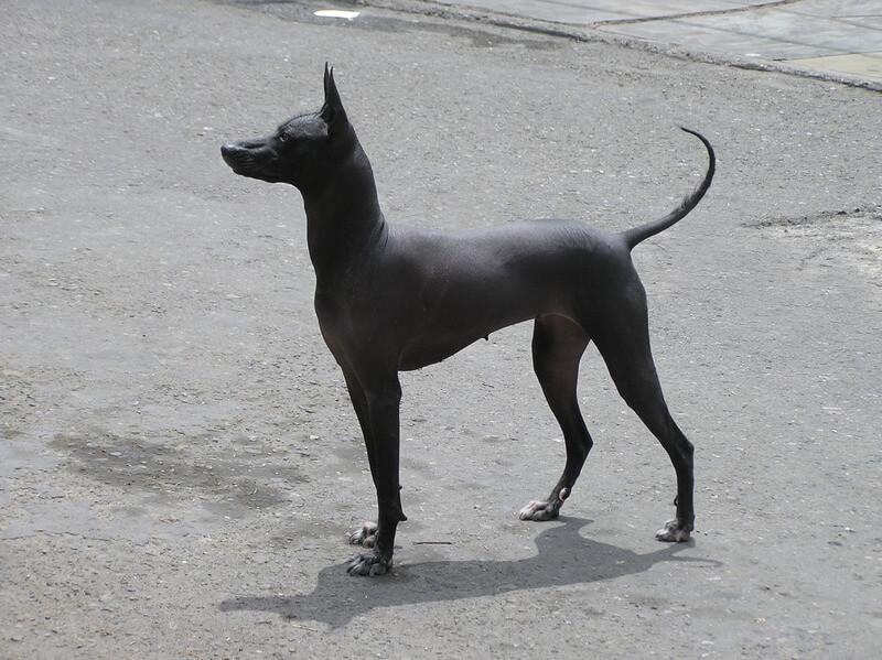 cane-nudo-peruviano