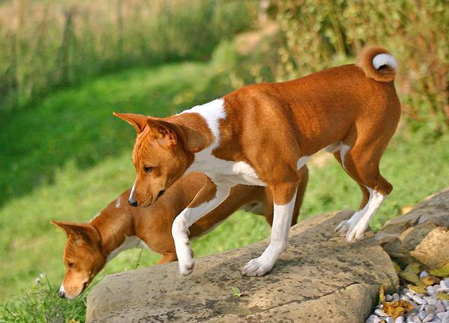 migliori-razze-di-cani-che-non-perdono-il-pelo