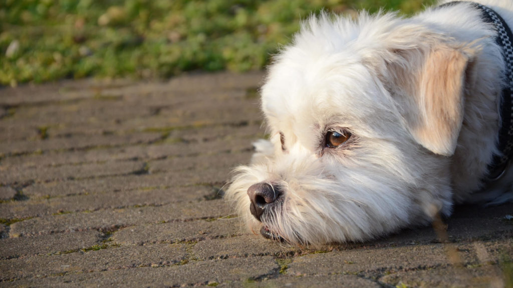 ragioni-per-cui-i-tuoi-cani-si-rifiutano-di-camminare