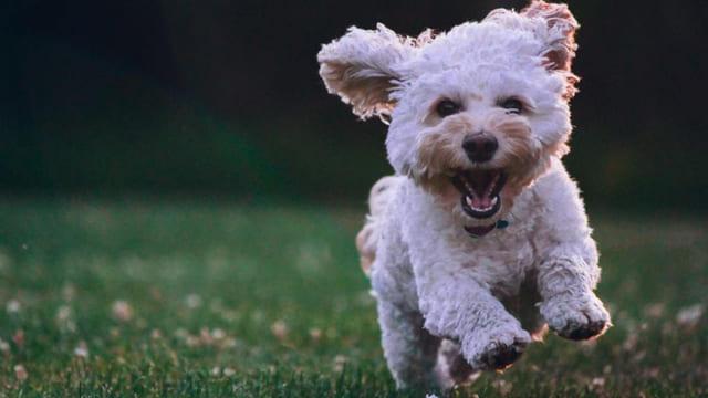 Come-si-calcola-letà-di-un-cane-in-anni-umani