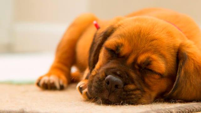 Quante-ore-dorme-un-cane
